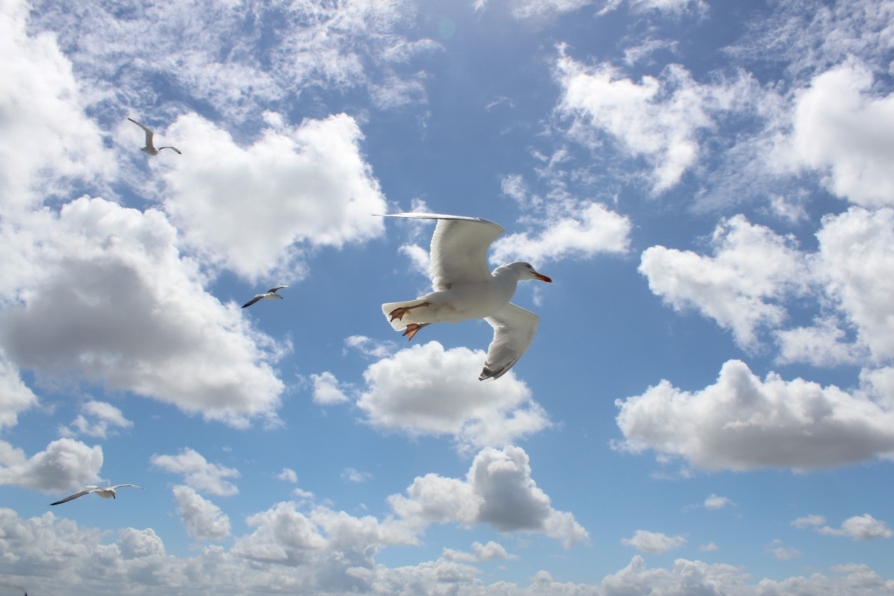 Seagulls flying on Sky - 1280x854.jpg